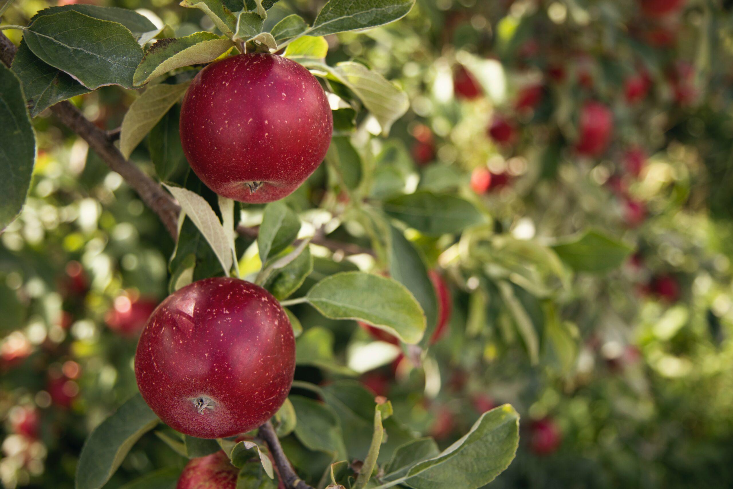 Äpplets dag